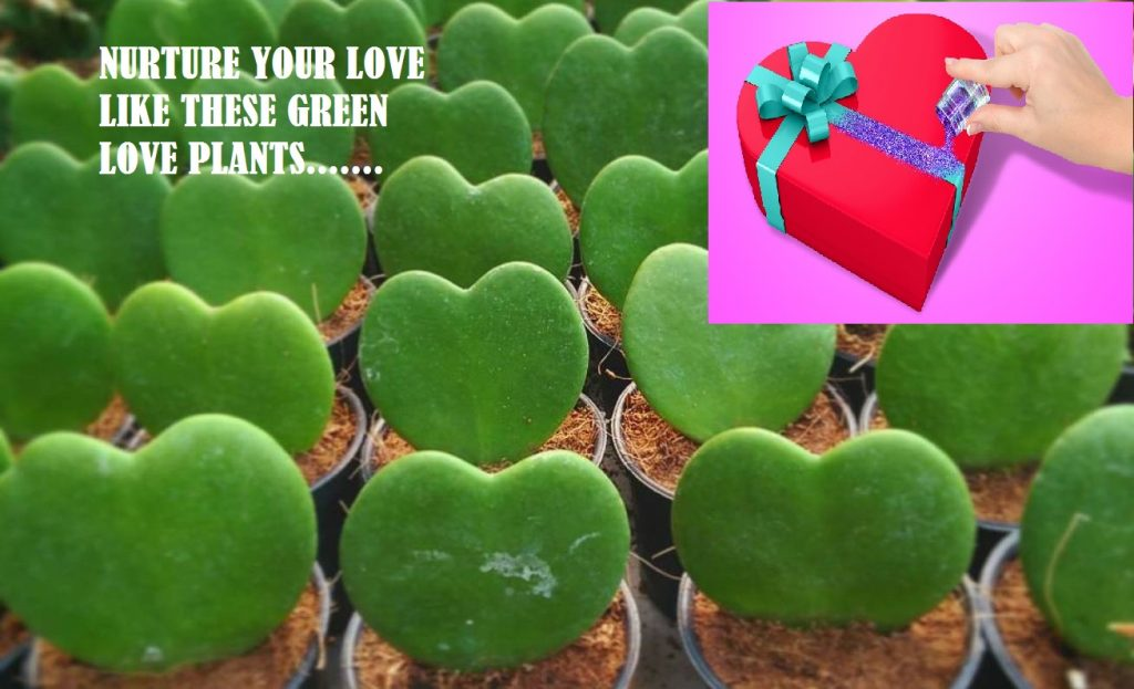 heart shaped plant