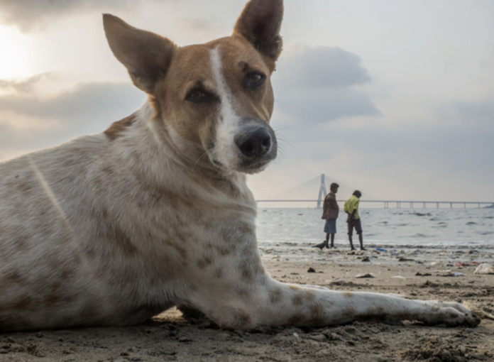 indian stray dogs