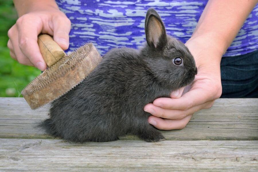 Rabbit being groomed
