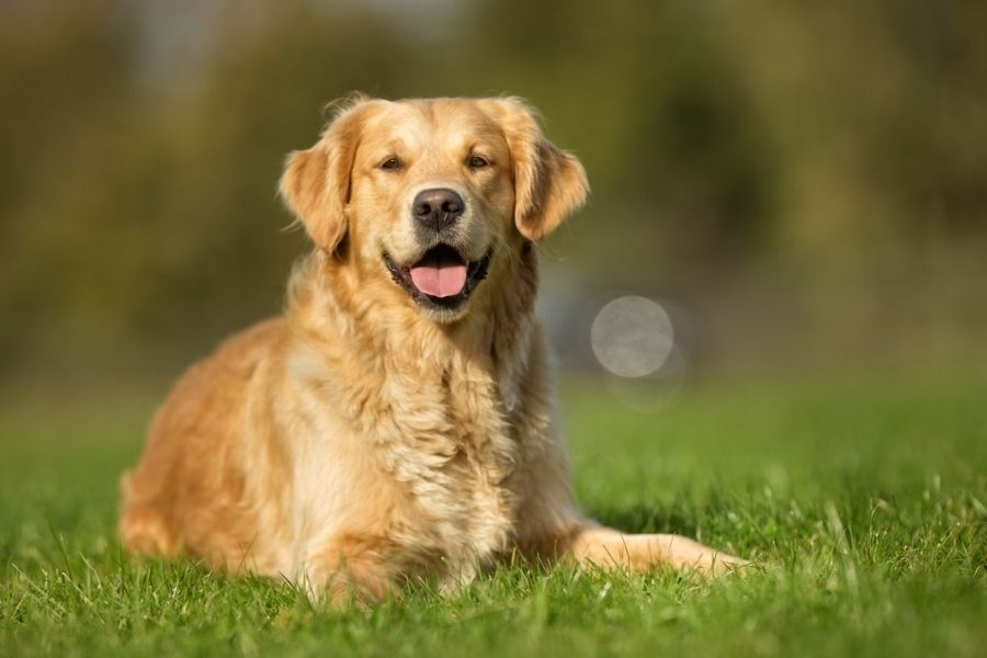 dogs for first-time owners- a golden retriever.